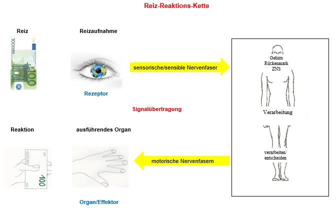 Reiz-Reaktions-Kette, Erregungsleitung