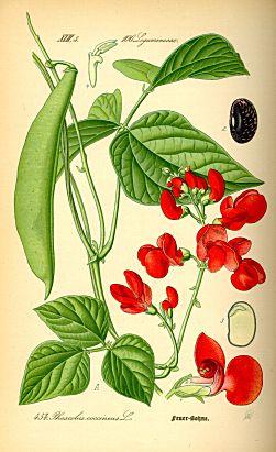 Bohnentagebuch - Vom Samen zur Pflanze