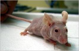 The 8 Weirdest Mice in Research Labs - Mother Jones