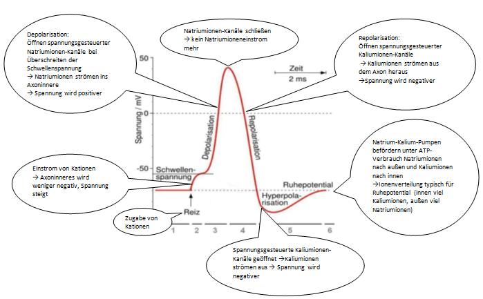 Das Aktionspotential (Lösungsvorschlag V4)