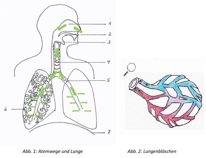 Arbeitsblatt Lunge Und Atemwege : Lösungen