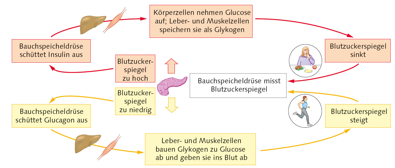 Regulation des Blutzuckerspiegels *