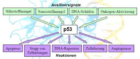 Informationsblatt 7: p53
