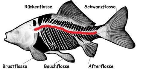 Innerer Körperbau der Fische – Version I – Lösung